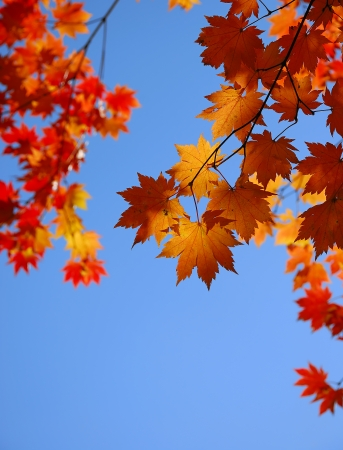 Yellow maple leaves on the sky backgroundの写真素材