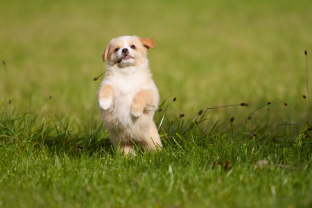 A Little funny mixed breed puppy playing joyfully in a green meadow