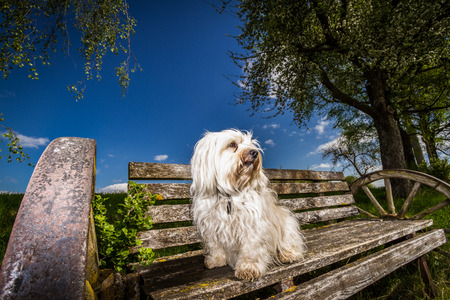A small white havanese sitting on a bench with old wagon wheels as armrests and looking at the landscape