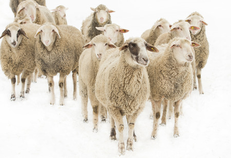 Herd of sheep isolated on white background