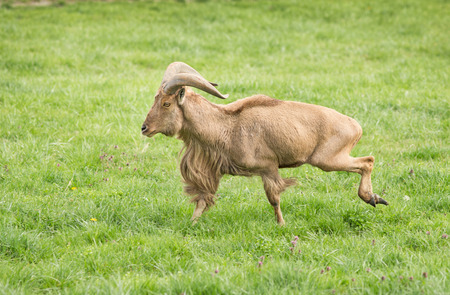 Ram of Barbary sheep breed running on grass