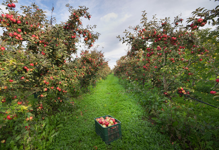 Photo for Ripe apples in crates and on trees in orchard  - Royalty Free Image