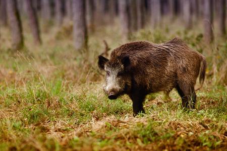 Photo pour Wild boar (sus scrofa) walking in forest - image libre de droit