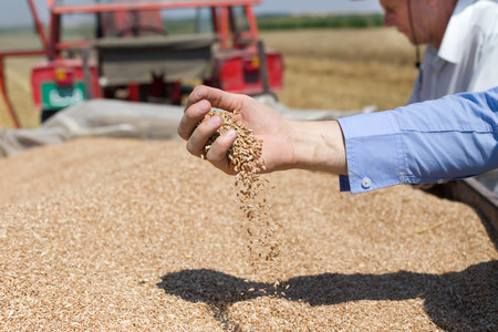 Photo for Close up of human hand pouring wheat grain in trailer after harvest in the field - Royalty Free Image