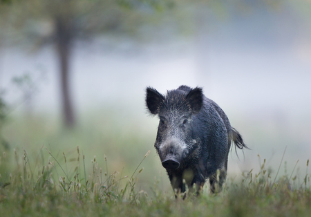 Photo pour Wild boar (sus scrofa ferus) walking in forest on foggy morning and looking at camera. Wildlife in natural habitat - image libre de droit