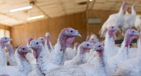 Photo pour Domestic turkey in barn on poultry farm - image libre de droit