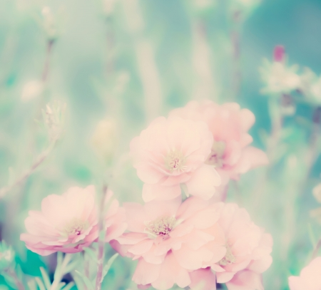 Portulaca grandiflora flower