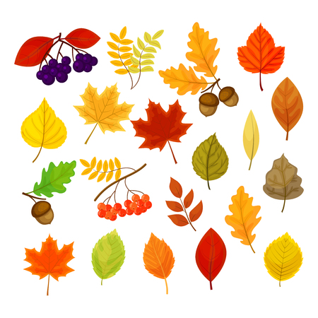 Illustration pour Big vector set with different autumn berries, leaves and acorns isolated on white background. - image libre de droit