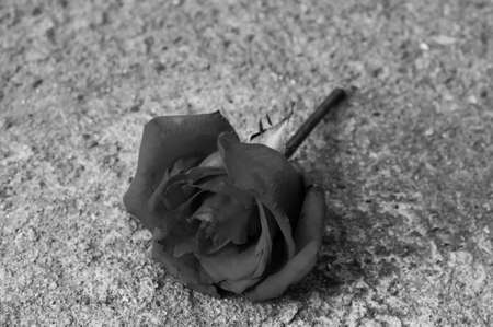 rose, black and white effect
