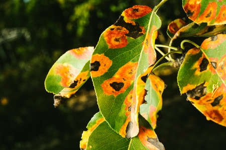 Foto für Red spots on the pear leaves. The tree is sick with a fungus - Lizenzfreies Bild