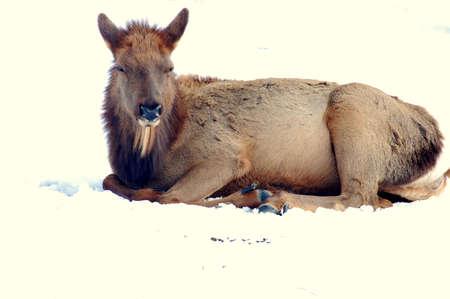 Elk calf in the snow