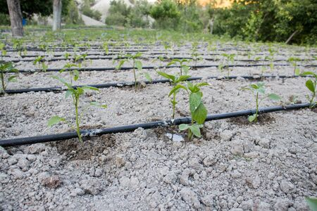 Photo for Close Up Drip Irrigation System. Water-saving drip irrigation system used in a tomato field. - Royalty Free Image