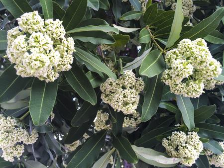 flowers Cheesewood