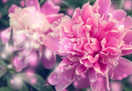 Peony flower for your greeti
