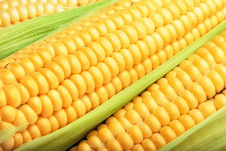 Foto für corn cob between green leaves for you design - Lizenzfreies Bild