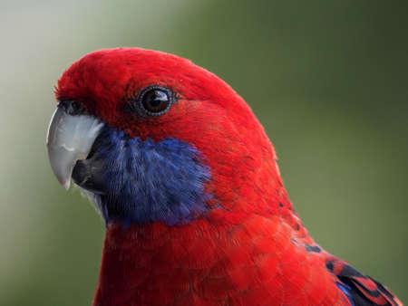 Photo pour Crimson Rosella Closeup - image libre de droit