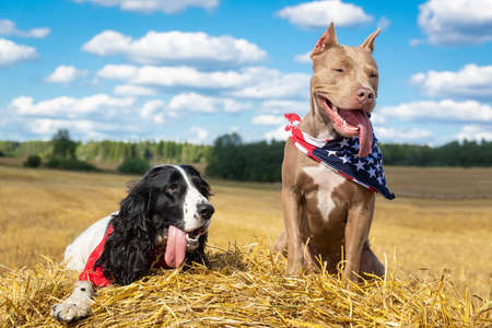 two dogs near a haystack of hay pit bull and a cocker spaniel