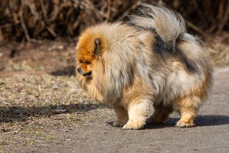 Foto de red chow chow dog outdoors in spring - Imagen libre de derechos