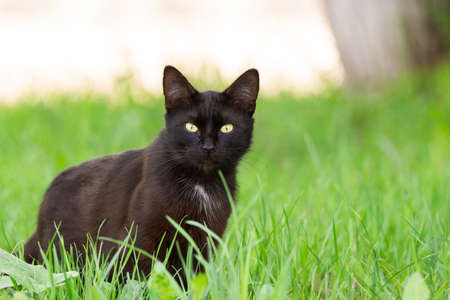 Photo for Portrait of a beautiful black cat in a garden on the green grass in the spring - Royalty Free Image