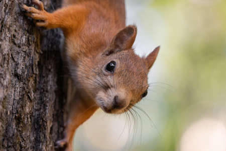 Photo for Red squirrel, Sciurus vulgaris, Cute arboreal, omnivorous rodent with long tail, climbing in the tree. Portrait of eurasian squirrel in natural environment. - Royalty Free Image