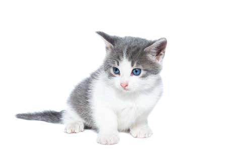 Photo pour Small gray and white kitten on a white background - image libre de droit