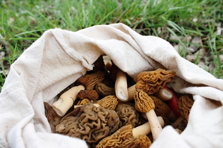 Fresh morels collected in the spring woods.