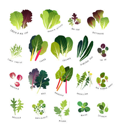 Ilustración de Common leafy greens such as lettuce, curly endive, chards, collards, dinosaur kale, tat soi, radicchio, curly kale, rhubarb, dandelion, sorrel, arugula, watercress, mizuna, mache and spinach - Imagen libre de derechos