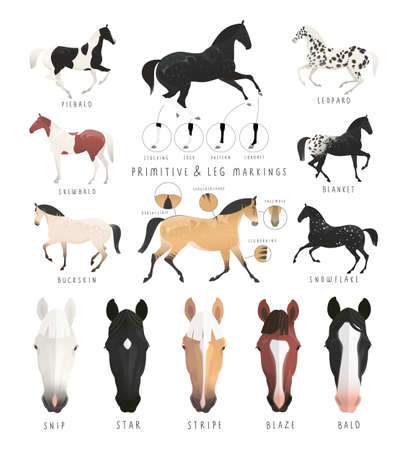 Clipart illustration of horse facial and leg markings, primitive markings of dun coat colouring. Also variations of some rare coat colours
