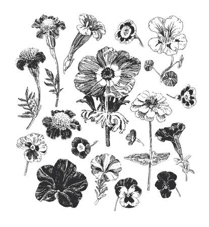 Illustration pour Botanical graphics, collection of hand drawn flowers such as marigold, petunia, pansies  and anemone - image libre de droit