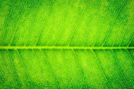 Green Leaf Macro Wall Mural