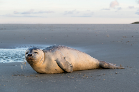 Photo pour young harbor seal at the beach of the Dutch island of Texel - image libre de droit