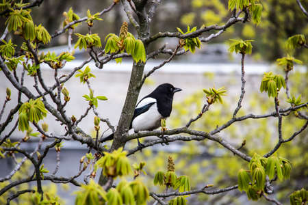 A magpie sits on top of a chestnut tree that will bloom soon. A stunning view of the verdant chestnut branches in early spring. Beautiful magpie bird sits on tree branches. Amazing days of spring