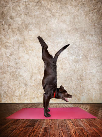 Yoga dog doing handstand pose on red yoga mat in yoga hall