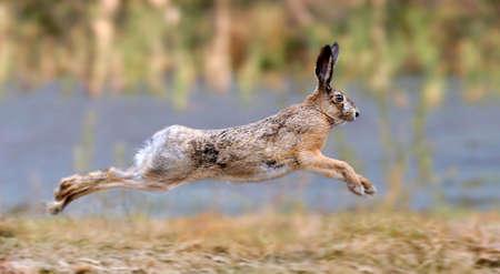 Photo pour Hare running in a meadow  - image libre de droit