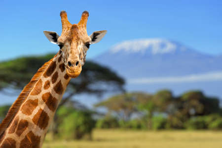 Photo pour Giraffe in front of Kilimanjaro mountain - Amboseli national park Kenya - image libre de droit
