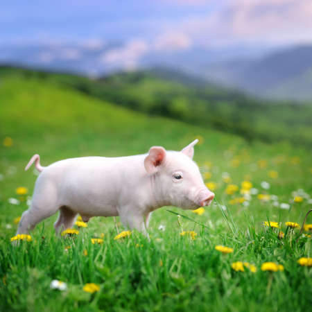 Young pig on a spring green grass in meadowの写真素材