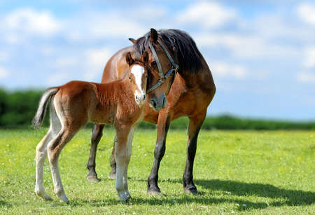 Arab mare and foal in spring meadow