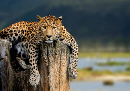 Leopard sitting on a tree on nature background
