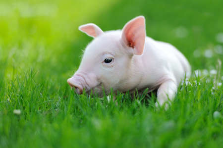 Young pig on a spring green grassの写真素材