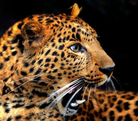 Photo pour Portrait leopard on dark background - image libre de droit