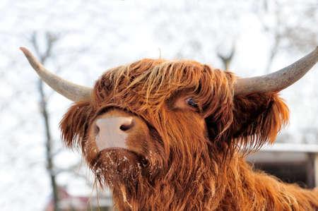 Close-up beautiful portrait scottish cattle
