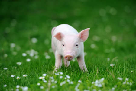 Young pig in a spring green grassの写真素材