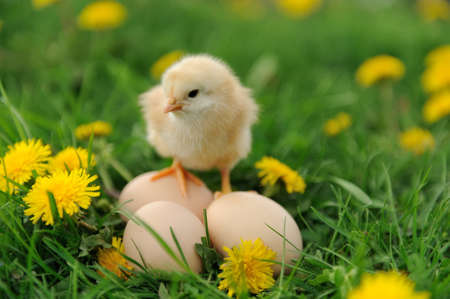 Photo for Little chicken and egg on the grass - Royalty Free Image