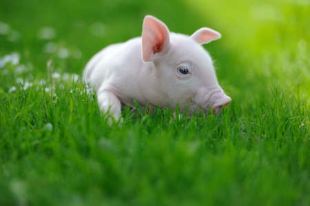 Piglet on spring green grass on a farmの写真素材