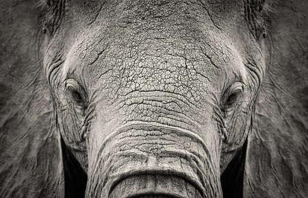 Foto de Close-up of African Elephant (Loxodonta africana). Kenya, Africa - Imagen libre de derechos