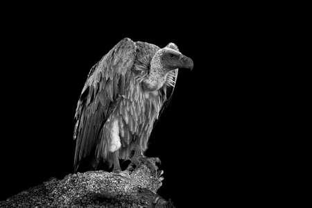Photo pour Vulture on dark background. Black and white image - image libre de droit