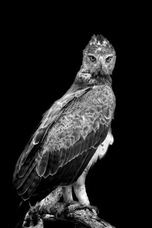 Photo pour Tawny eagle on dark background. Black and white image - image libre de droit