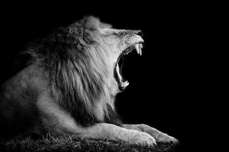 Foto de Lion on dark background. Black and white image - Imagen libre de derechos