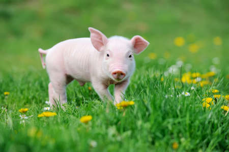Young funny pig on a spring green grassの写真素材