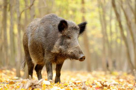 Photo pour Close wild young boar in autumn forest - image libre de droit